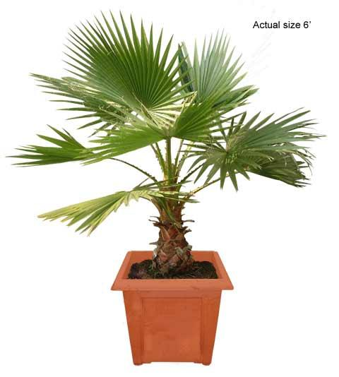 fan%20palm%20tree Palm House Plant Fountain on wedding plants, palm leaf plants, palm like plants, palm christmas, potted palm plants, palm buds, pagoda plants, church plants, palm looking plants, palm drawing, indoor plants, palm bamboo, palm identification guide, biosphere 2 plants, outdoor palm plants, kinds of palm plants, palm sunset, palm silhouette, care of palm plants, tree plants,