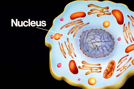 what are three parts of a nucleus? | socratic, Human Body