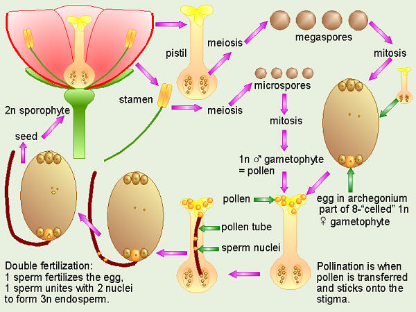 What are the female sex organs of angiosperms
