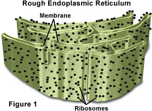 Rough Endoplasmic reticulumWhat Is Endoplasmic Reticulum