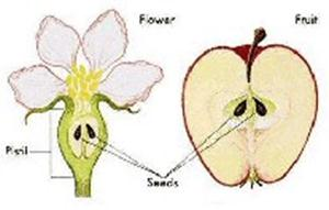 Image Result For Life Cycle Apple